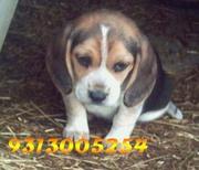 BEAGLE  pups  @  9313005254....