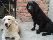 dogs 4 sale in assam (KCI registered & Microchip) at a cheap rate
