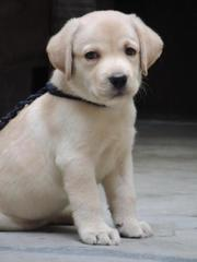 dogs for sale in guwahati (All Breeds / KCI registered)