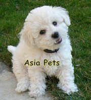 BICHON FRISE  Puppies  For Sale  ® 9911293906