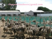 Ostrich chicks, eggs and feathers for sale