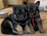 KCI Registered German shephard puppies for sale through all over india