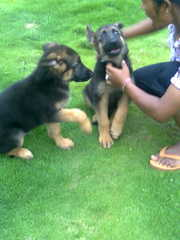 G.S.D puppies for sale