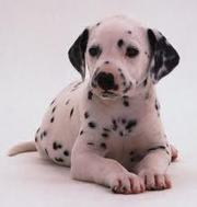 Available Dalmatian pups